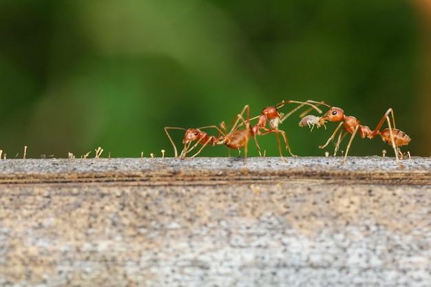 自然の中で木の上の赤い蟻を閉じる