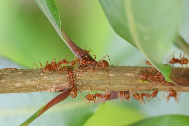 Close up red ant on  stick tree in nature at thailand