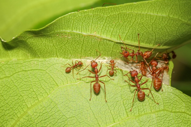 Close up of red ants on green leaf