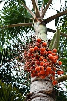 Крупным планом красный орех бетеля на пальме