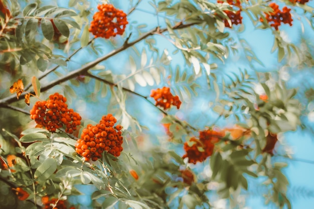 Close up on red bright ripe rowan berries on branches