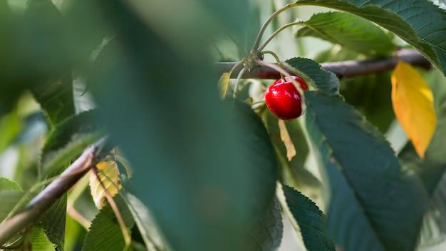 Макро красная вишня в дереве