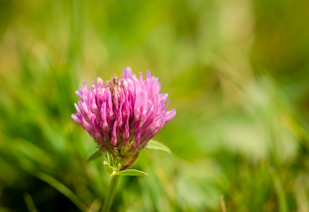 Close-up of red clover illuminated by the rays of the sun trifolium pratense