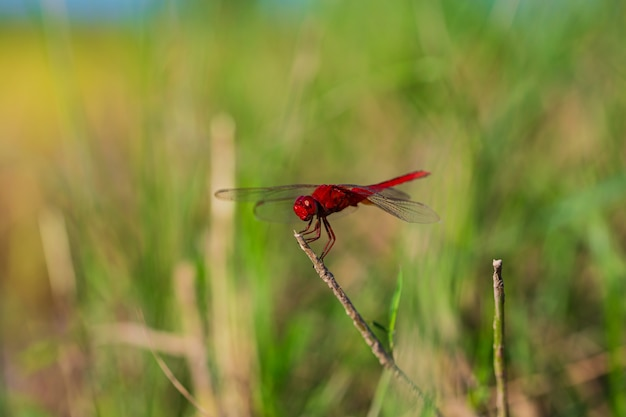 Close up of a red dragonfly with on a dry branches