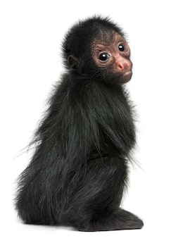 Close-up of red-faced spider monkey, ateles paniscus on white isolated
