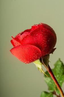 Primo piano del fiore rosso con le goccioline di acqua