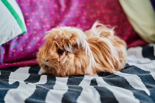 Close-up of red-haired and long-haired guinea pig on bed at home.