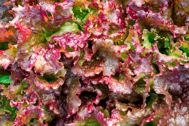 Close up red leaf lettuce or red coral in organic farm garden.stir the leaves of lettuce