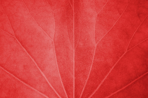 Close up red lotus leaf texture