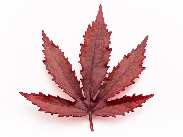 赤いカエデの葉の孤立した白い背景の上面図を閉じます。