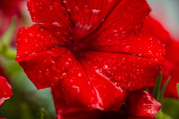 Close up of red petunia flower with dewdrops on the petals