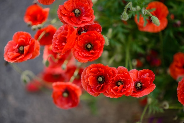Close up of red poppy flowers in a field.