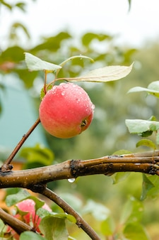 Close-up of red ripe apple on branch in soft-focus in the background.