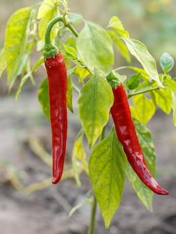 Красные зрелые перцы chili конца-вверх в саду с запачканным зеленым естественным фоном. домашние органические продукты питания, стручковый перец или паприка, созревающие в саду.