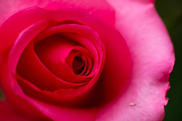 Крупным планом красная роза фон