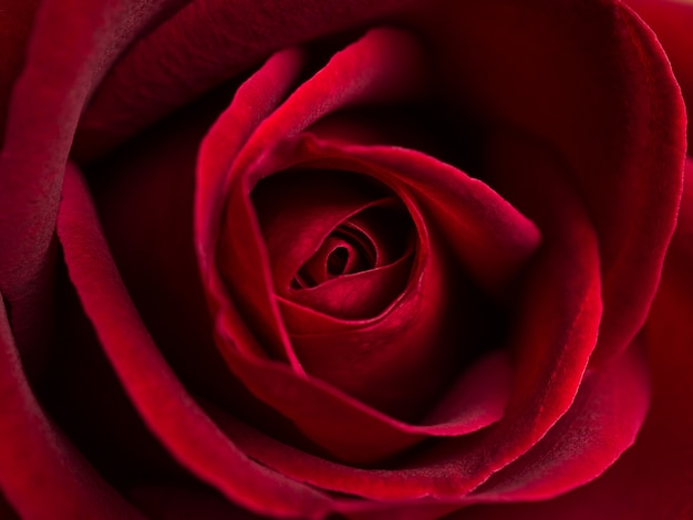 Close up red rose flower