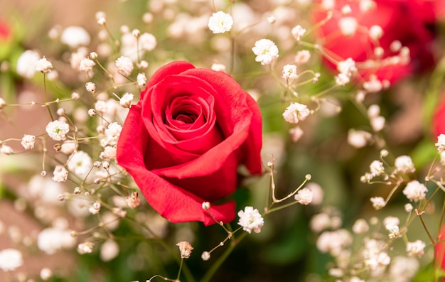 Close up of a red rose surrounded by baby's-breath flowers
