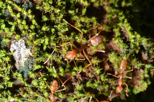 Close up of red weaver ant, top view