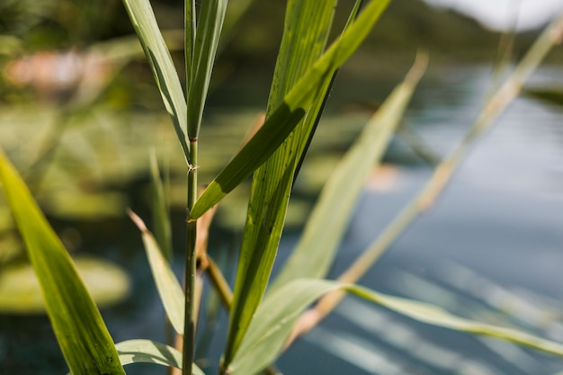 Close-up of reeds near the water