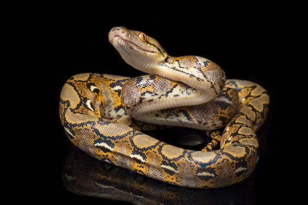 Close-up of reticulated python