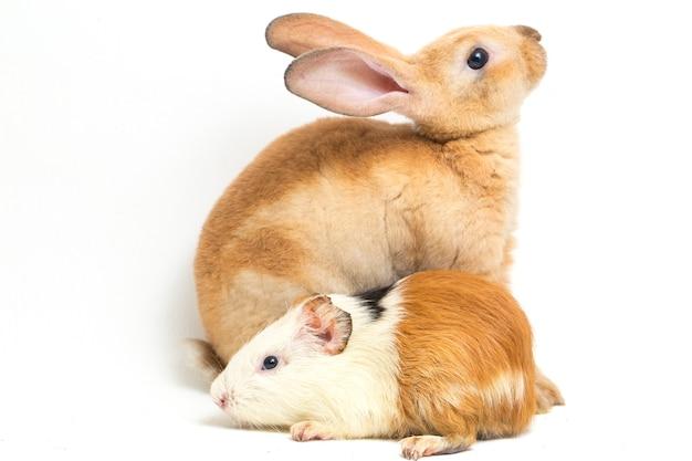 Close-up of rex rabbit and guinea pig