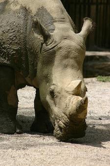 Primo piano di rinoceronte