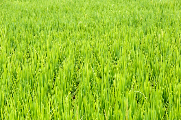 Close up of rice paddy ,thai rice