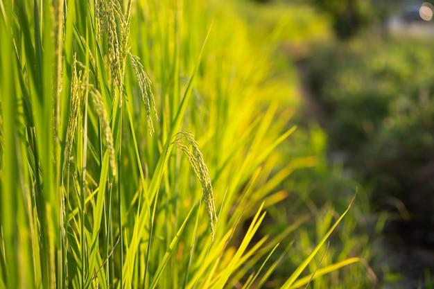 タイの緑の水田の稲をクローズアップ。