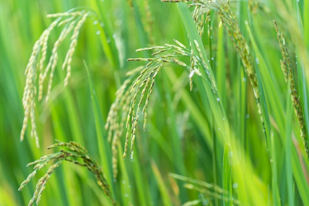 Close up of rice spike in rice field