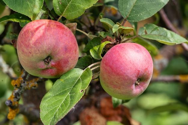 Крупным планом спелые плоды яблони, растущие на дереве