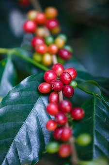 Close up ripe arabica coffee berries fruit on coffee tree
