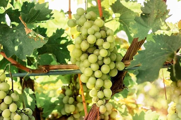 와인 만들기위한 포도 나무에 흰 포도의 근접 익은 무리. 가을 포도 수확, 신선한 과일. 샤르도네, 슈닌 블랑, 무스카트, 피노 블랑, 리슬링, 소비뇽 블랑 포도 종류.
