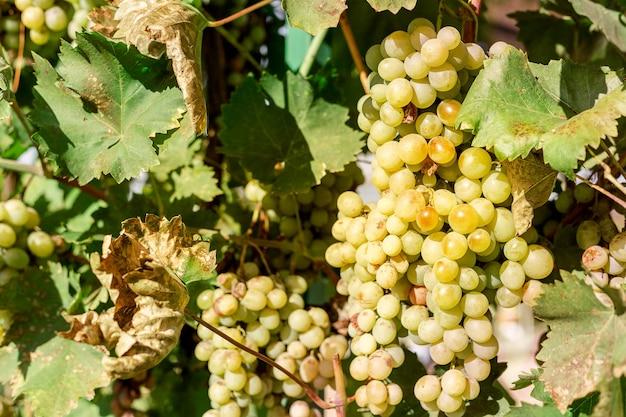 와인을 만들기 위해 포도 나무에 흰 포도의 근접 익은 무리. 가을 포도 수확, 신선한 과일. 샤르도네, 슈냉블랑, 무스카트, 피노블랑, 리슬링, 소비뇽블랑 포도 품종.