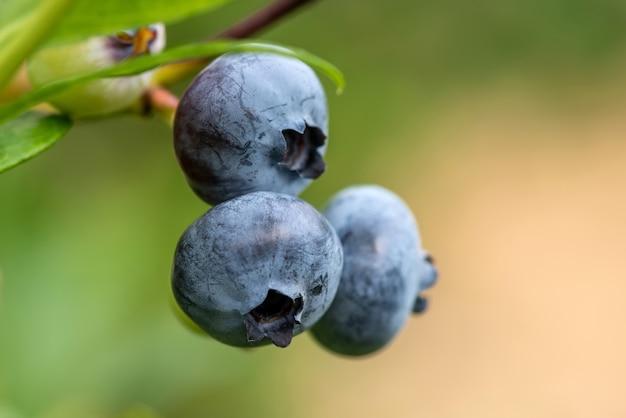 Close up ripe fresh organic blueberries on the bushes