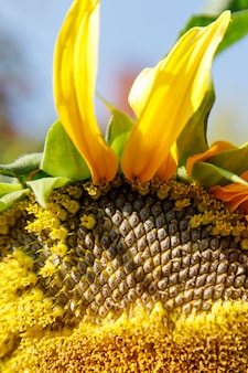 Close up of a ripe sunflowers before harvest in sunny day against blue sky