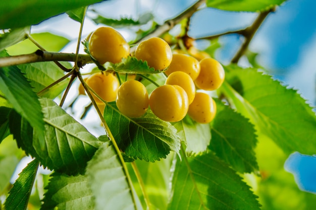 Close-up of ripe sweet yellow red cherries on branch