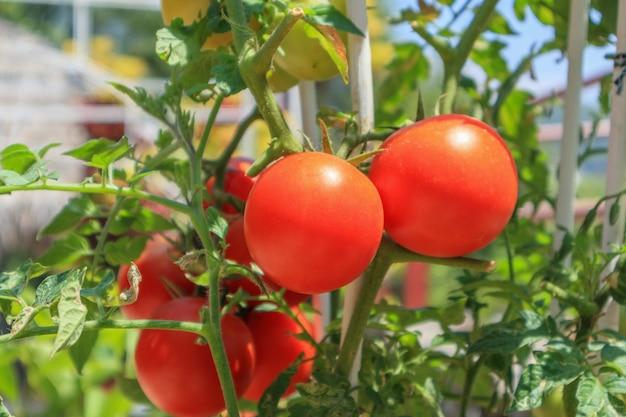 有機栽培の庭で完熟トマト植物をクローズアップ
