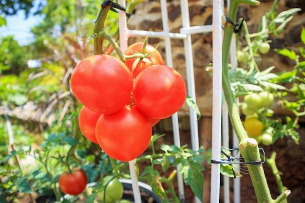 有機性庭で完熟トマト植物を閉じる