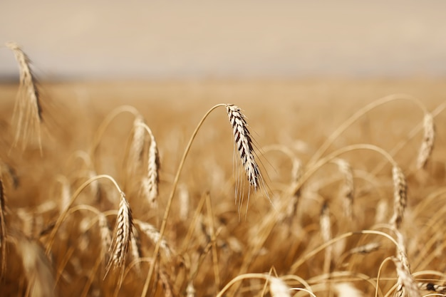 Close up of ripe wheat ears against beautiful sky with clouds. ripe wheat. selective focus.