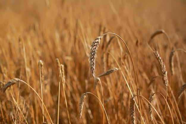 Close up of ripe wheat ears against beautiful sky with clouds