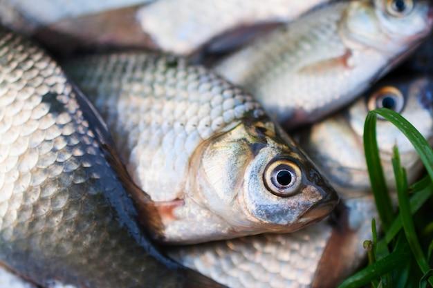Close up of river crucian carp
