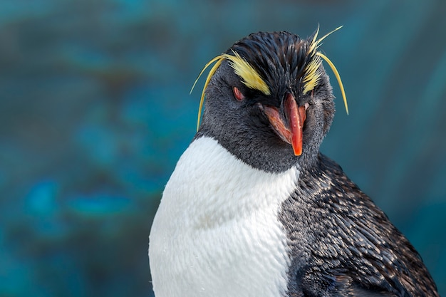 Close-up of the rockhopper penguin in blue water background