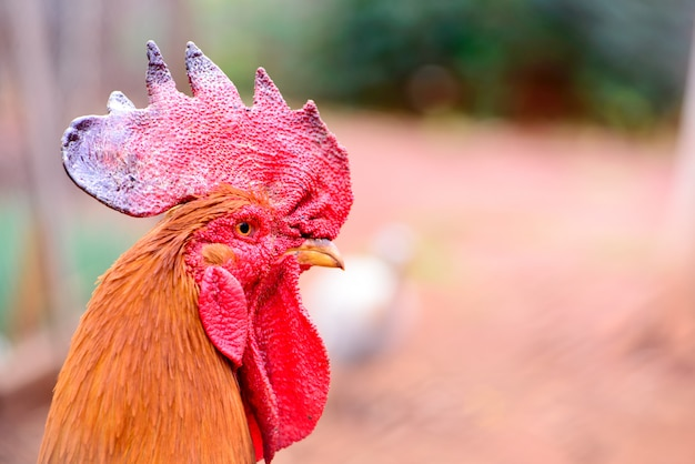 Close up of a rooster with its red crest
