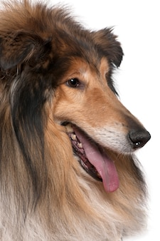 Close-up of rough collie with tongue out, 5 years old. dog portrait isolated