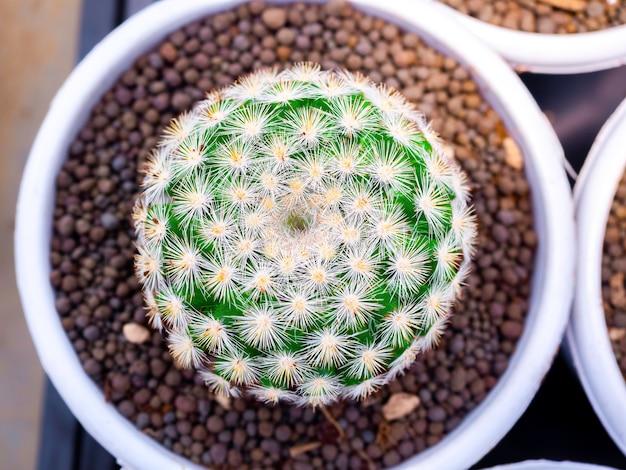 サボテン農場で繁殖する白い円のプラスチック製の鉢に白い棘がある緑のサボテンのクローズアップの丸い形。