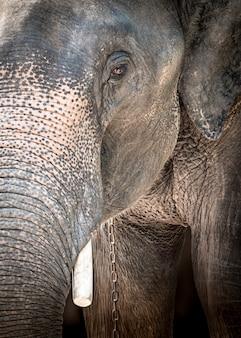 連鎖した悲しい象をクローズアップ