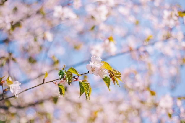 Close up sakura bloom, cherry blossom, cherry tree on a blurred blue sky background