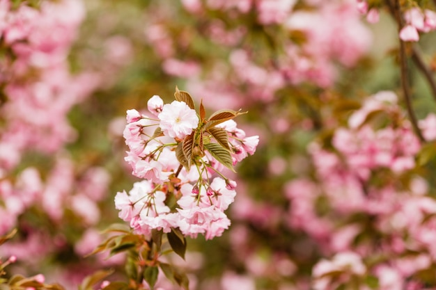 Close up of sakura blooming branch on the tree, pink fragile flowers,