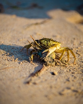 Крупным планом песчаный краб