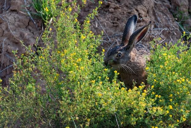 自然の中で怖がっているヨーロッパのノウサギやlepuseuropaeusをクローズアップ